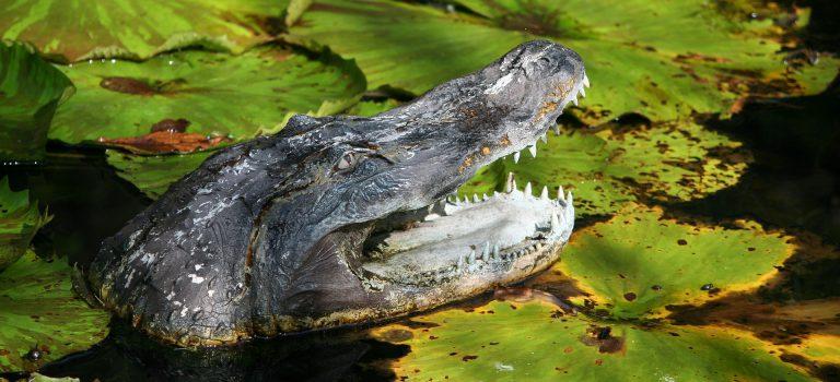【都市傳說】大安森林公園驚現鱷魚?都市傳說如何變成真實「鱷夢」!